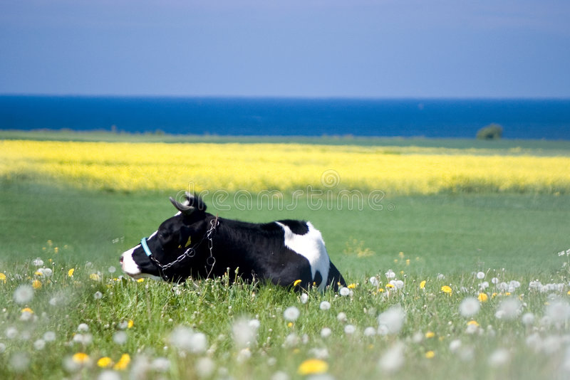 Download Cow in grass stock photo. Image of creature, bovine, lying - 2445718