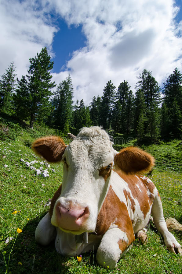 Download Cow in grass stock photo. Image of graze, bovine, mountains - 25743074