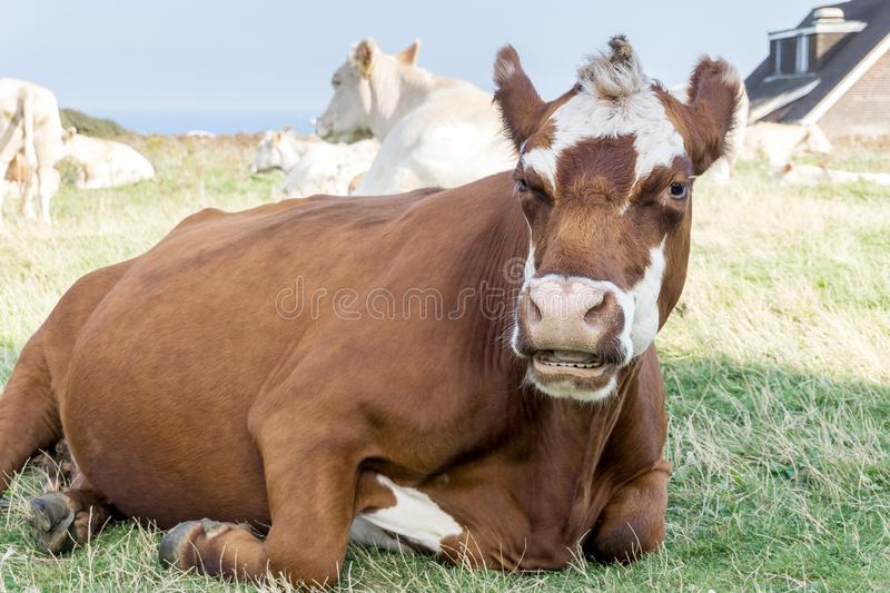 Cow on the grass. A cow on the grass look at you stock images
