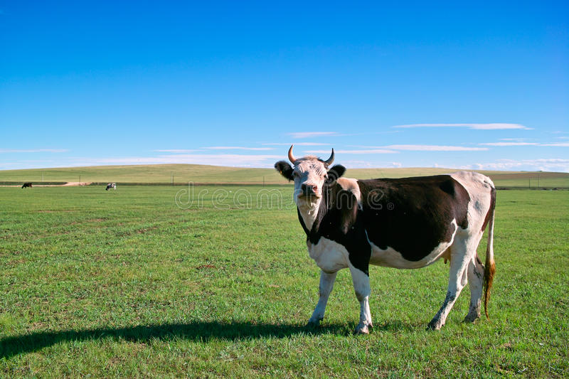 Cow in grassland stock photo