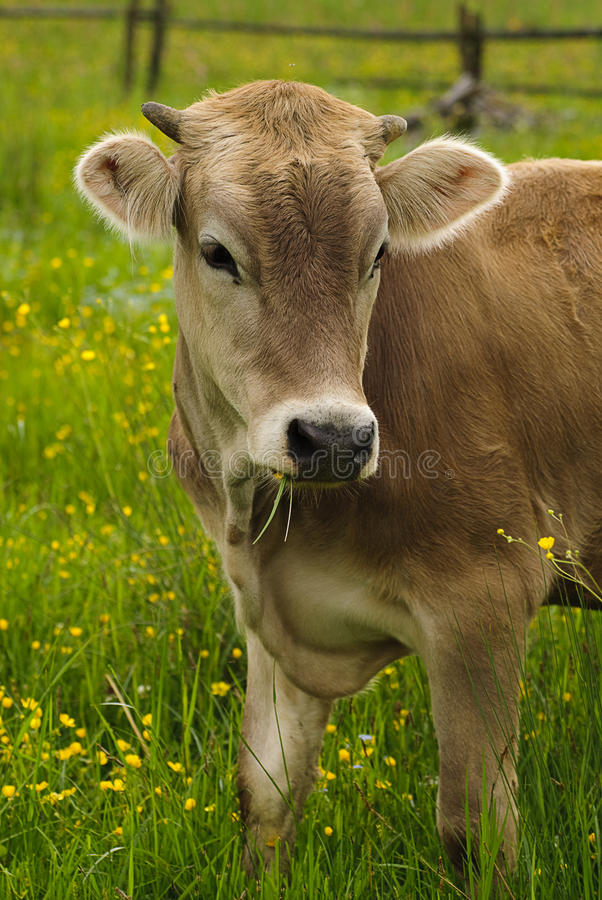 Download Cow Graze Royalty Free Stock Images - Image: 14536409