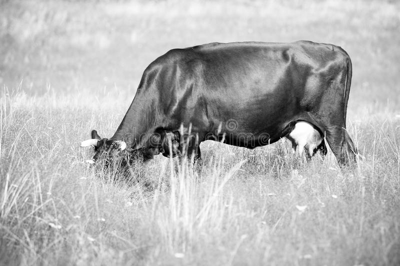 A cow grazes in a field royalty free stock photos