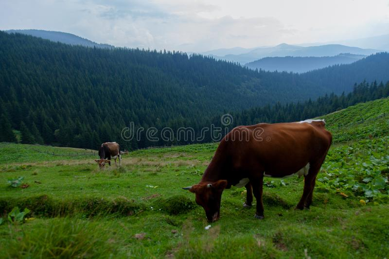Cows on a high mountain farm in summer stock images