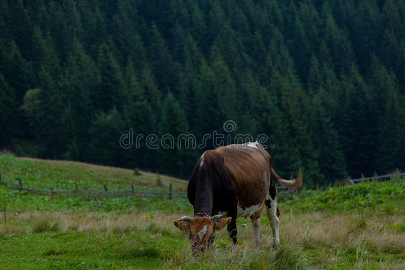 Cows on a high mountain farm in summer royalty free stock photo