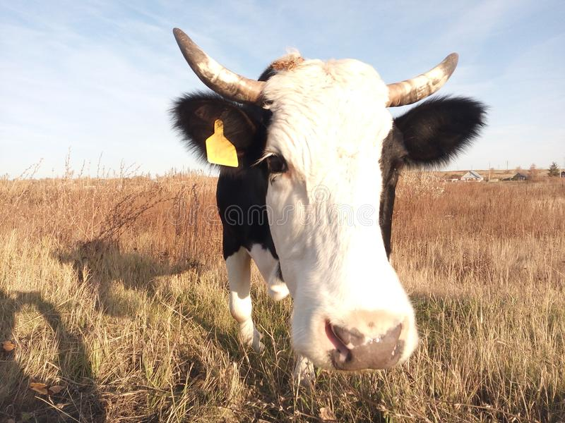 Cow grazes in a meadow in autumn royalty free stock photo