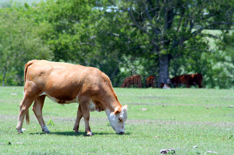 Download A Cow Grazing Stock Photo - Image: 1411030