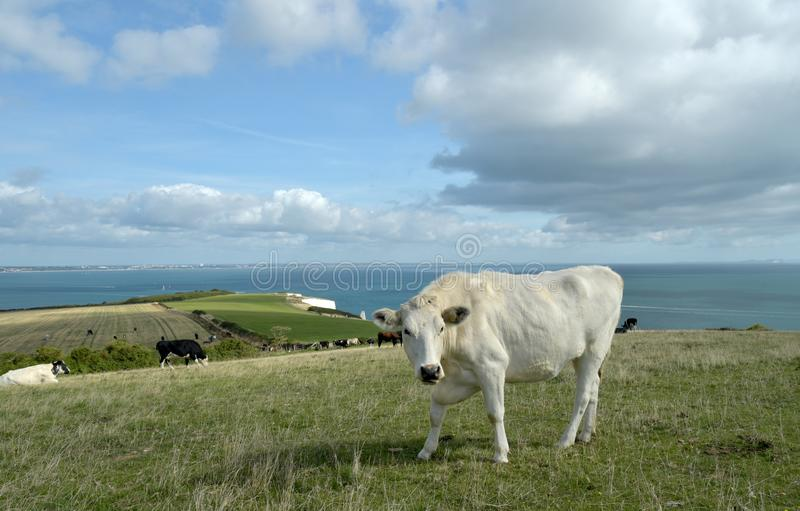 Cow grazing above Old Harry Rocks on Dorset coast. A cow grazing in the fields above above Old Harry Rocks on Dorset coast royalty free stock image