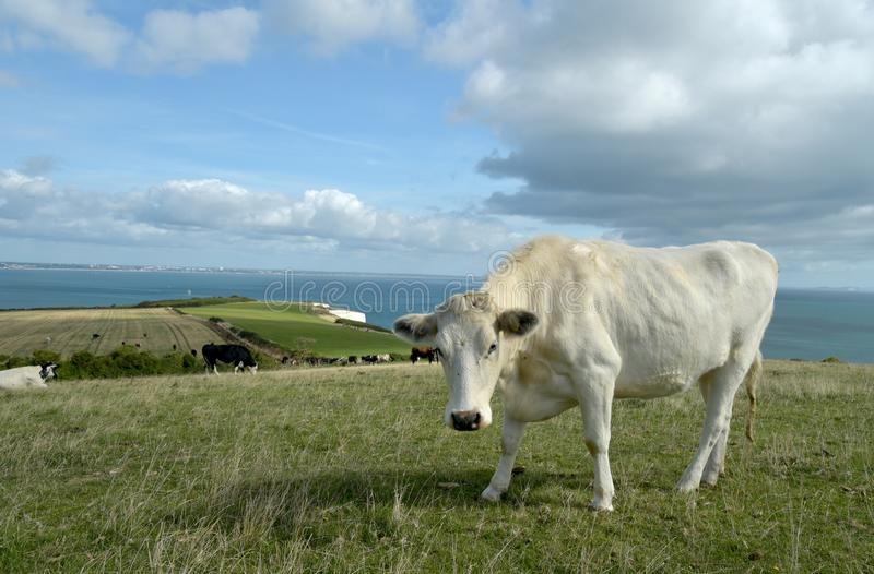Cow grazing above Old Harry Rocks on Dorset coast. A cow grazing in the fields above above Old Harry Rocks on Dorset coast royalty free stock photo