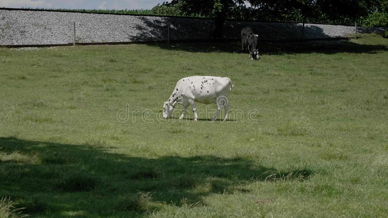 A Cow Grazing in an Amish Field stock image