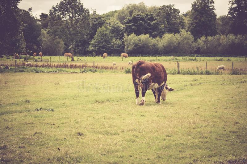 Cow grazing in the countryside. Close to Lacock village, Wiltshire, England, UK stock photos