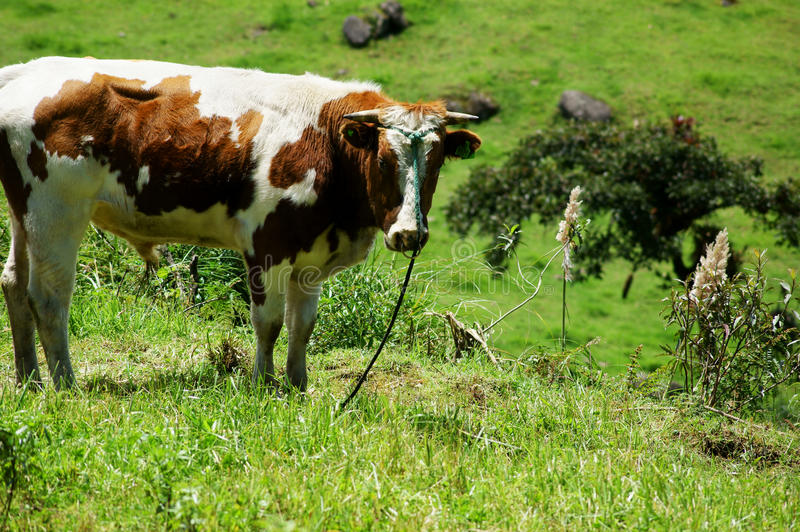 Download Cow Grazing in Ecuador stock image. Image of meadow, country - 24032415