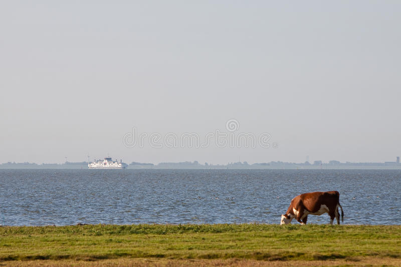Download Cow Grazing In A Farmland Near Water Stock Photo - Image of water, nature: 11464162