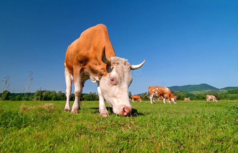 Cow grazing in a field stock photos