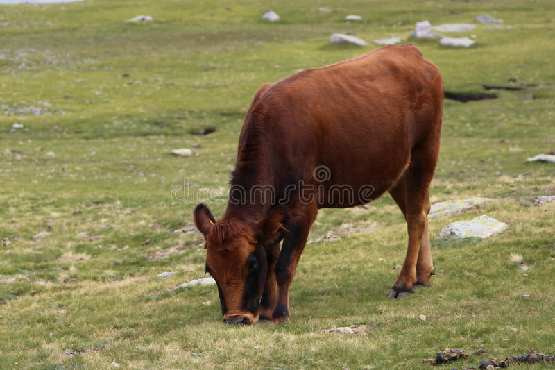 A cow grazing on a field. stock image