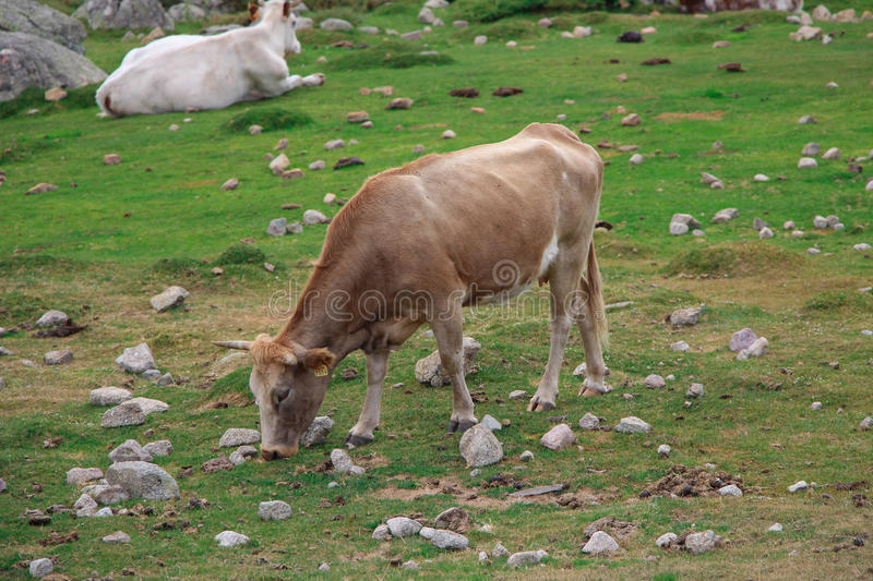 A cow grazing on a field royalty free stock photo