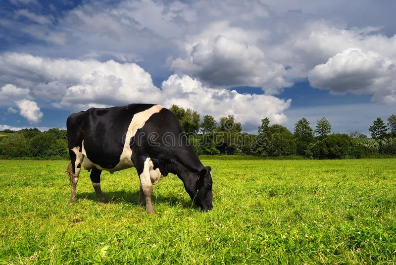 Cow grazing on a green summer meadow in Hungary stock photography
