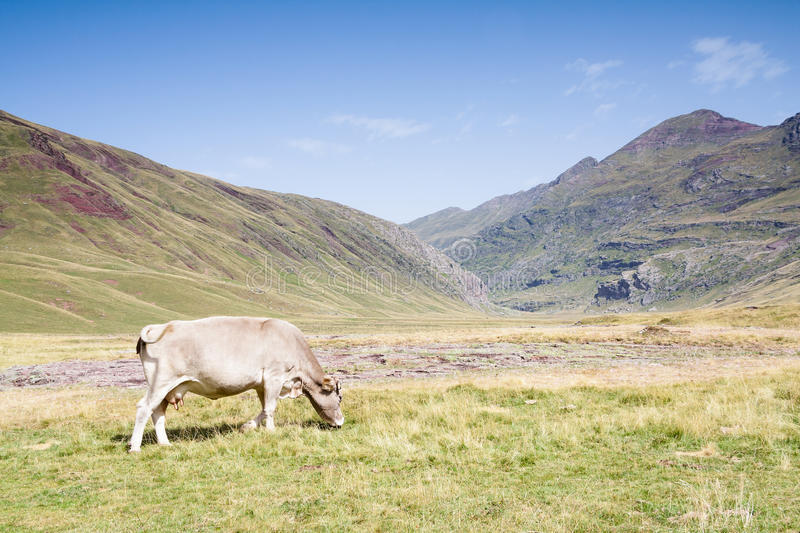 Cow grazing in the Hecho's Valley. Spanish Pyrenees royalty free stock photo