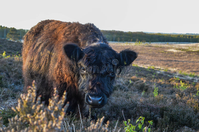 Cow grazing royalty free stock photo