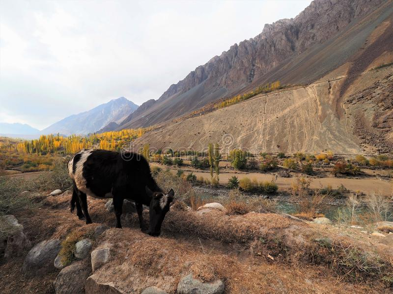 Cow Grazing In Meadow, Ghizer Valley, Pakistan. Cow Grazing In Meadow Along Hindu Kush Mountain Range In Ghizer Valley, Northern Pakistan stock image