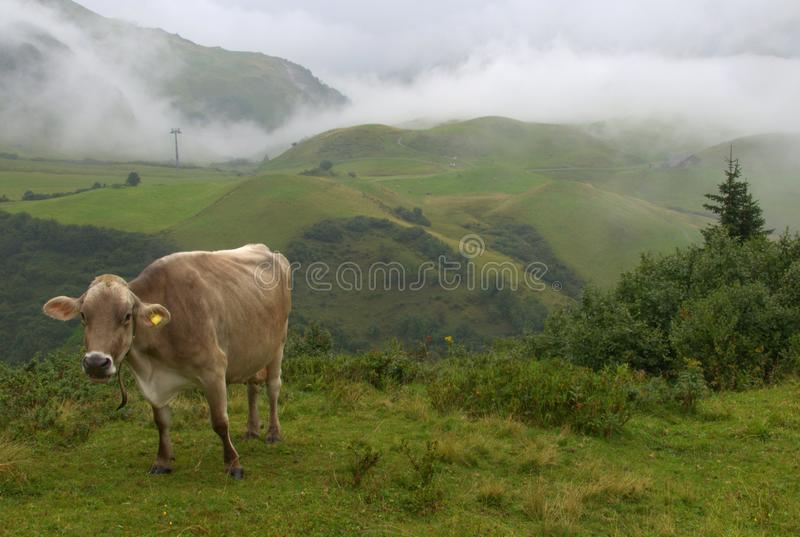 Cow grazing in the Alps. Cow grazing in the misty Alps royalty free stock image