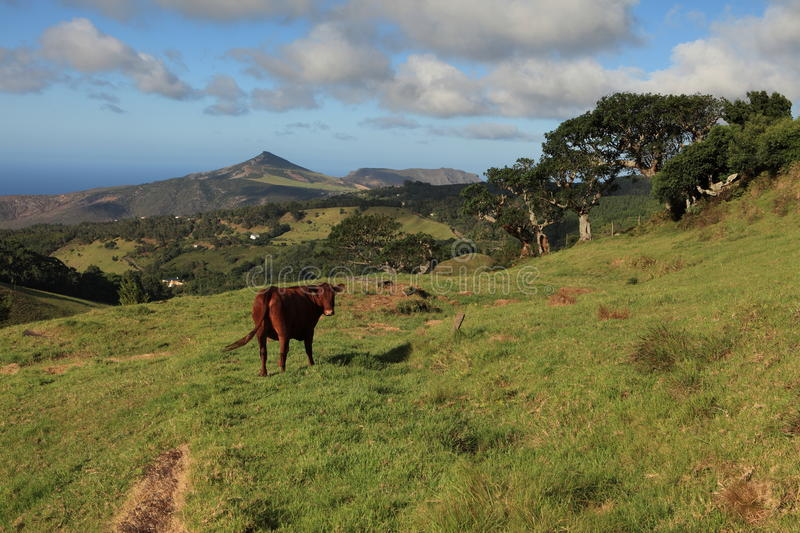 Download Cow Grazing In A Pasture On St Helena Island Stock Image - Image: 16845985