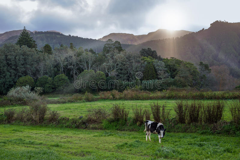 Cow grazing on pasture under the mountains with fairy light. Young cow grazing in a lush summer pasture in soft light during sunset, with green grass, blue stock photography
