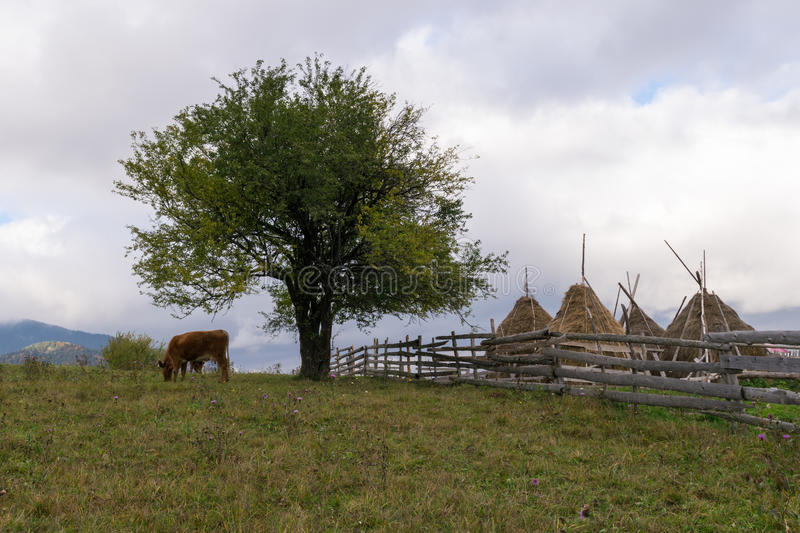 Cow grazing in a rural landscape royalty free stock photography