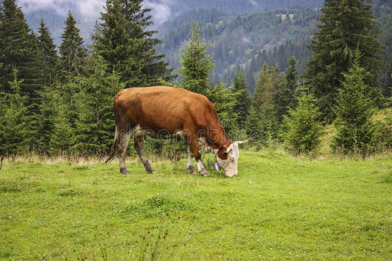 Cow grazing in a summer mountain meadow in the Carpathians, Romania royalty free stock images