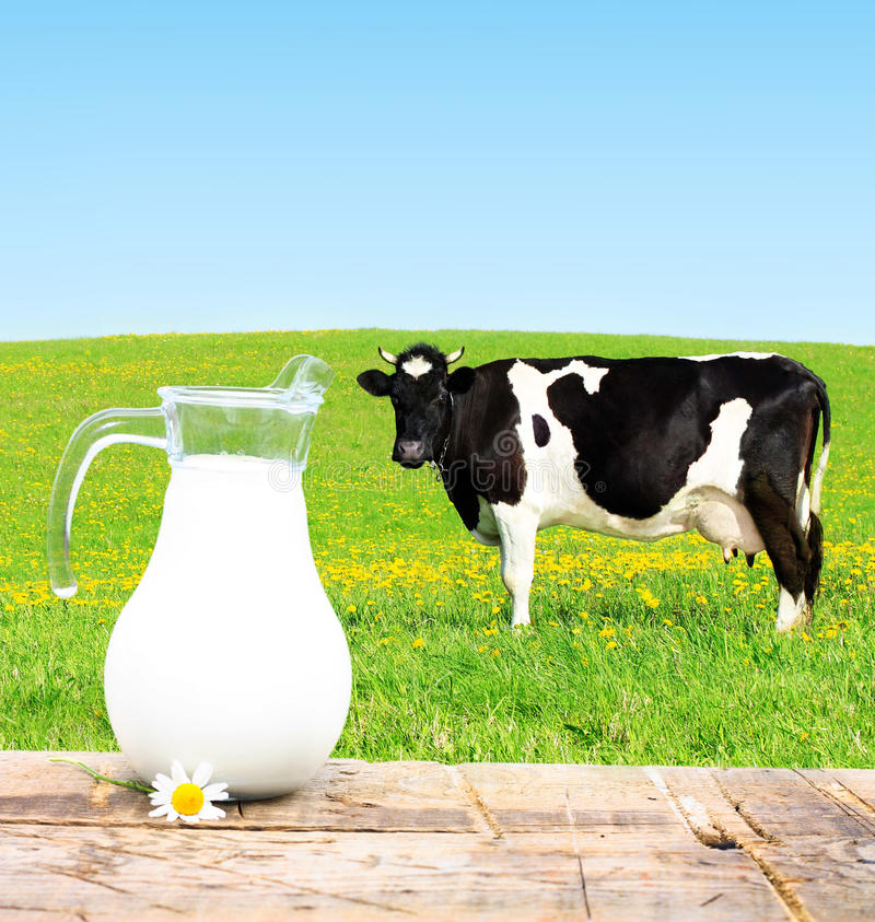 Cow on a green meadow. Milk jar and cow grazing on a green meadow royalty free stock photo