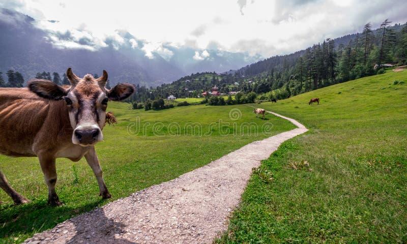 Cow in Green meadows in himalayas, Great Himalayan National Park, Sainj Valley, Himachal Pradesh, India. Photo of cow in green meadows in himalayas, Great stock photo