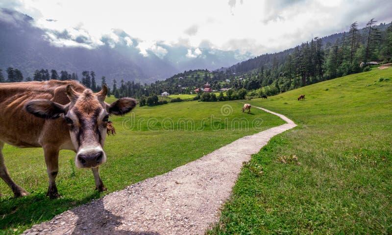 Cow in Green meadows in himalayas, Great Himalayan National Park, Sainj Valley, Himachal Pradesh, India. Photo of cow in green meadows in himalayas, Great stock photos