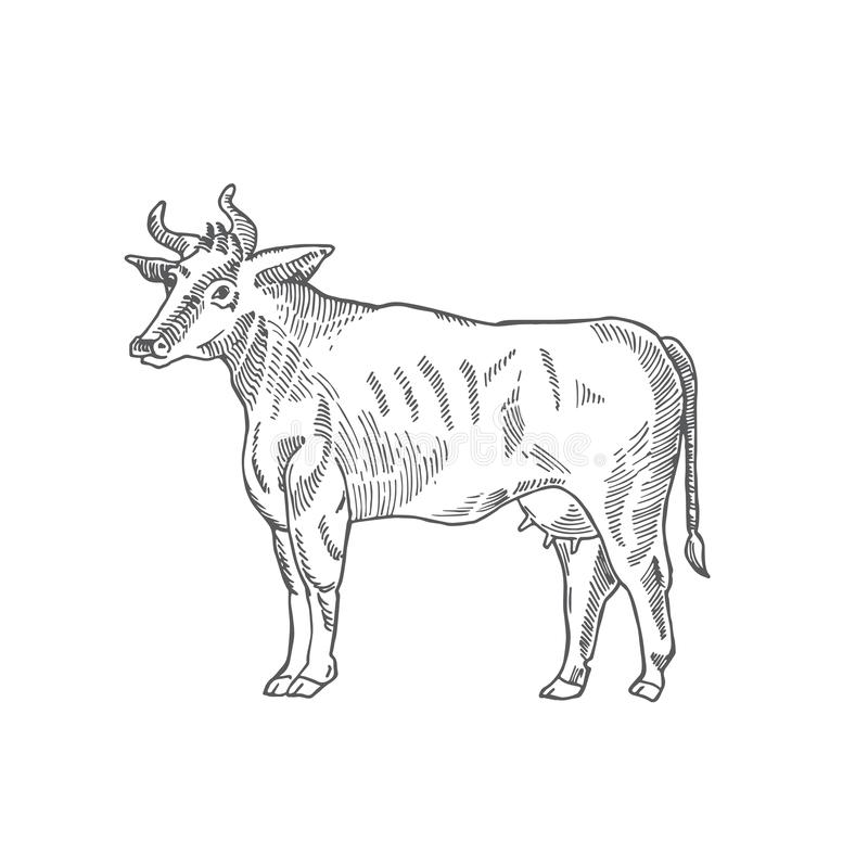 Sketch Doodle Cow Animal stock vector  Illustration of bull