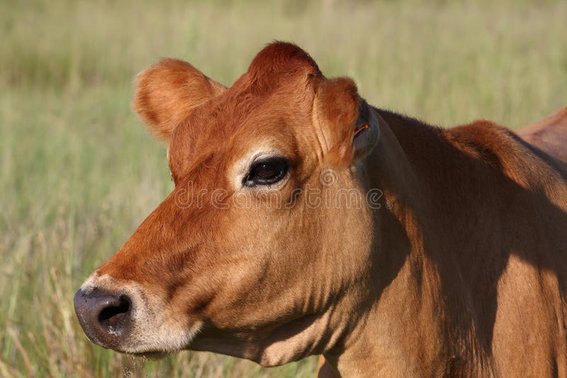 Cow head royalty free stock image
