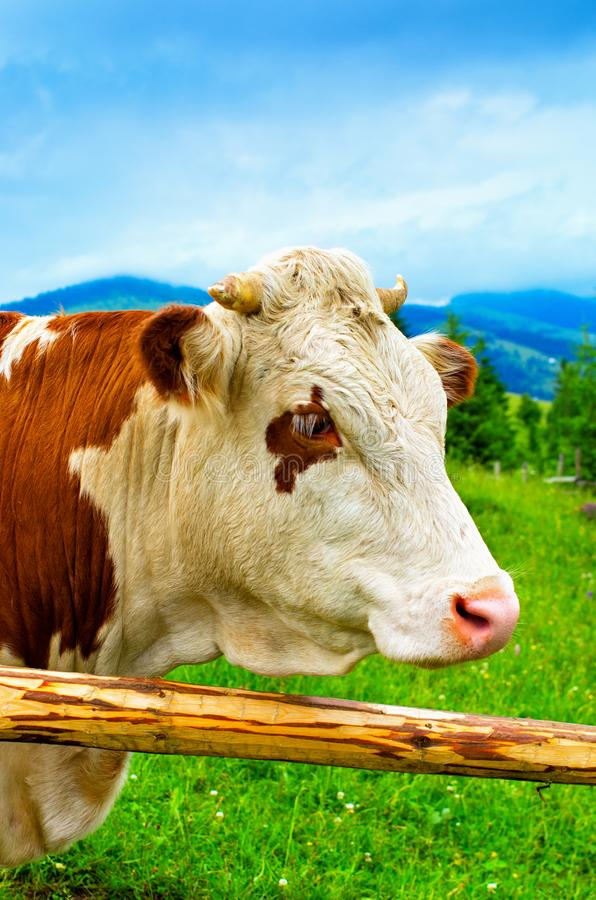 Cow head closeup of a fence in a mountain meadow royalty free stock images
