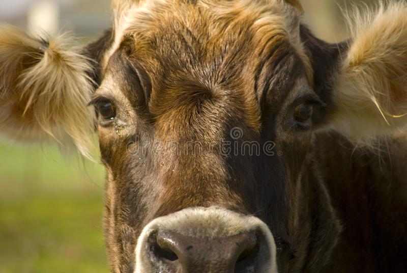 Cow head cropped royalty free stock image