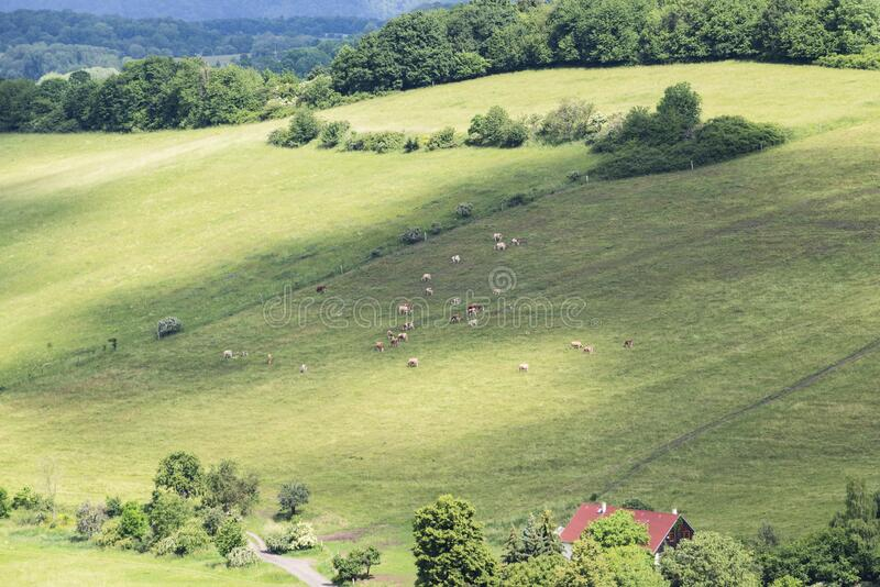 Cow her grazing organic, countryside, mountain, rural landscape in the summer royalty free stock images