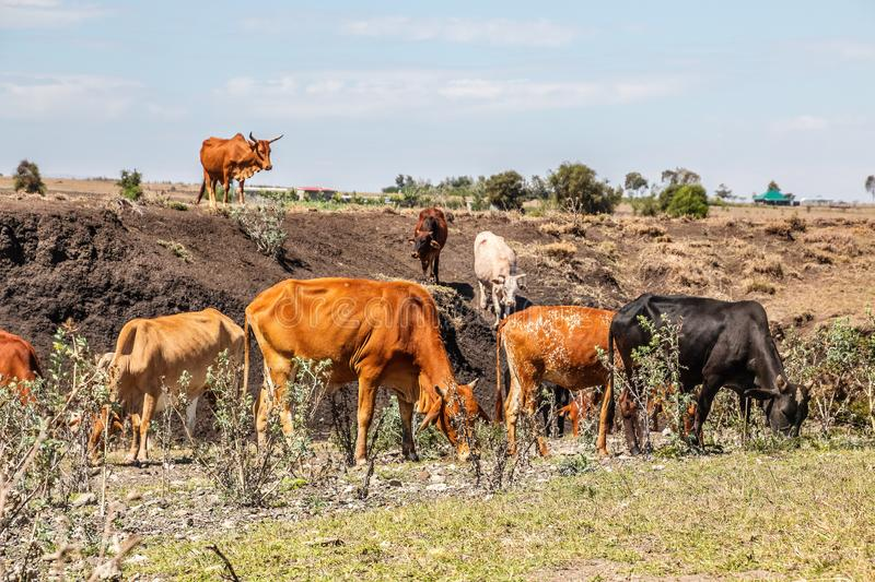 Cow herd in a steppe stock photography