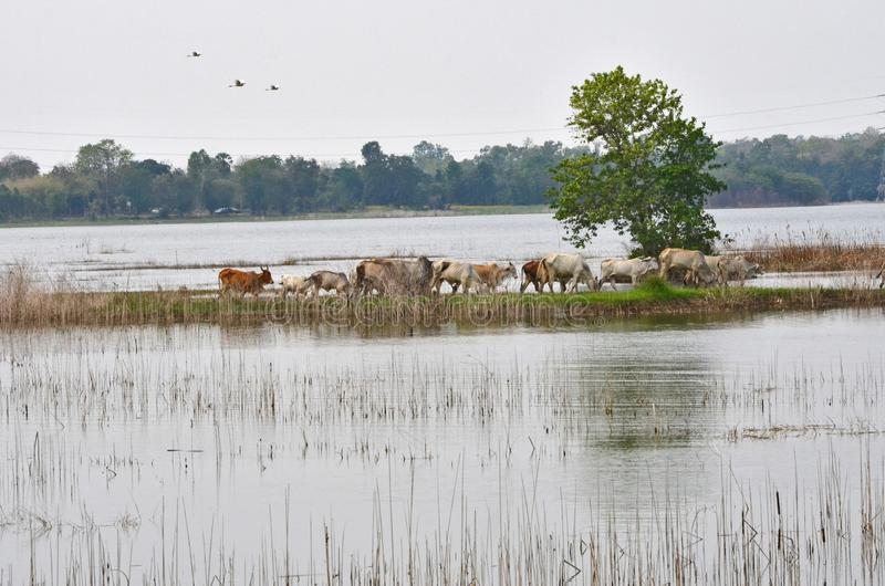 Cow herd walk on the ridge across the lake royalty free stock images