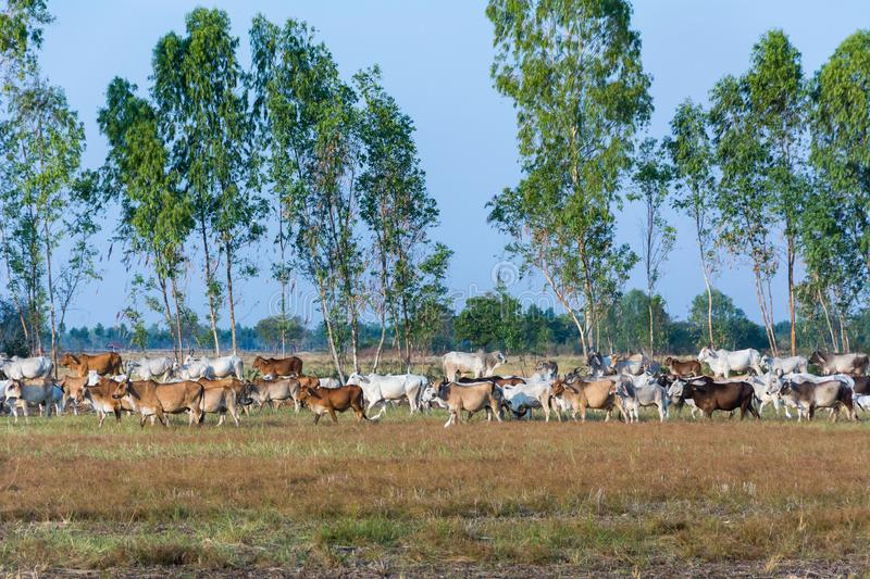 Cow herd walk on rural road, To return to the farm royalty free stock photos