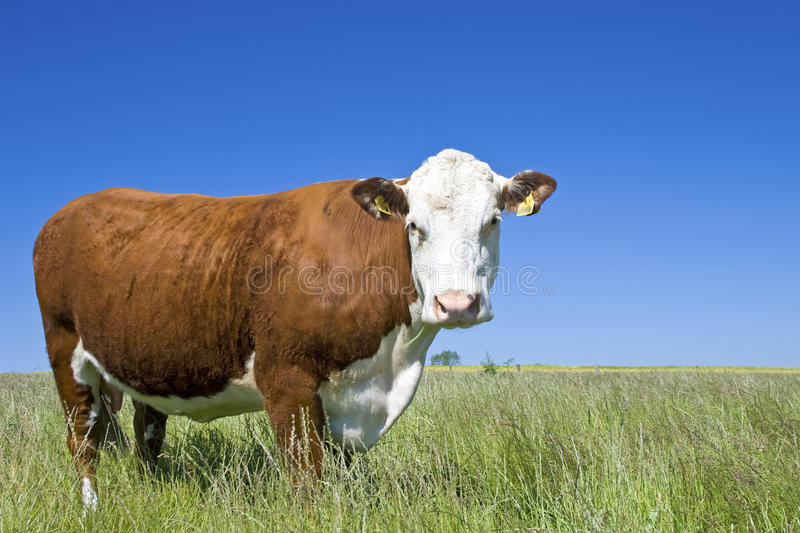 Cow Hereford, cow, cattle royalty free stock image