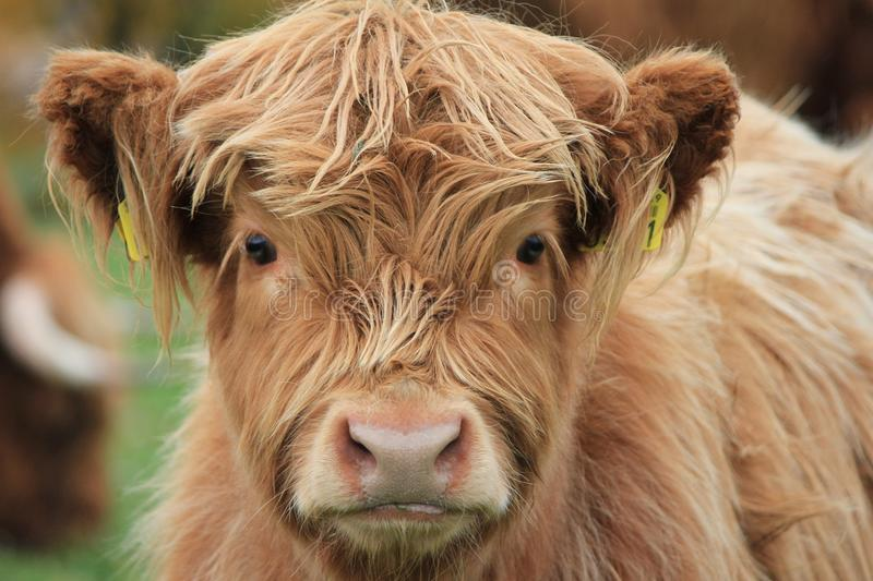 Cow Highland stock images