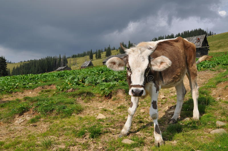 Download Cow on a hillside. stock photo. Image of hillside, summer - 15637234