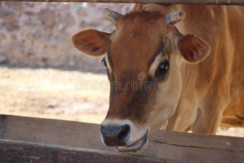 Cow horns royalty free stock image