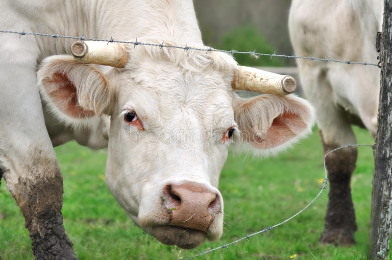 Download Cow with horns cut stock image. Image of wire, barbed - 25228053
