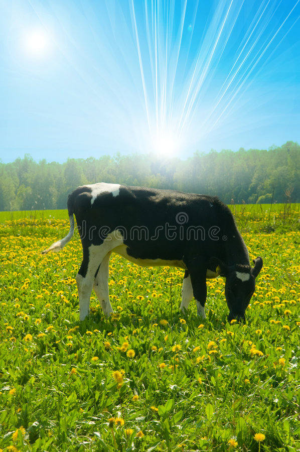 Free Cow In A Pasture Royalty Free Stock Photo - 8429075