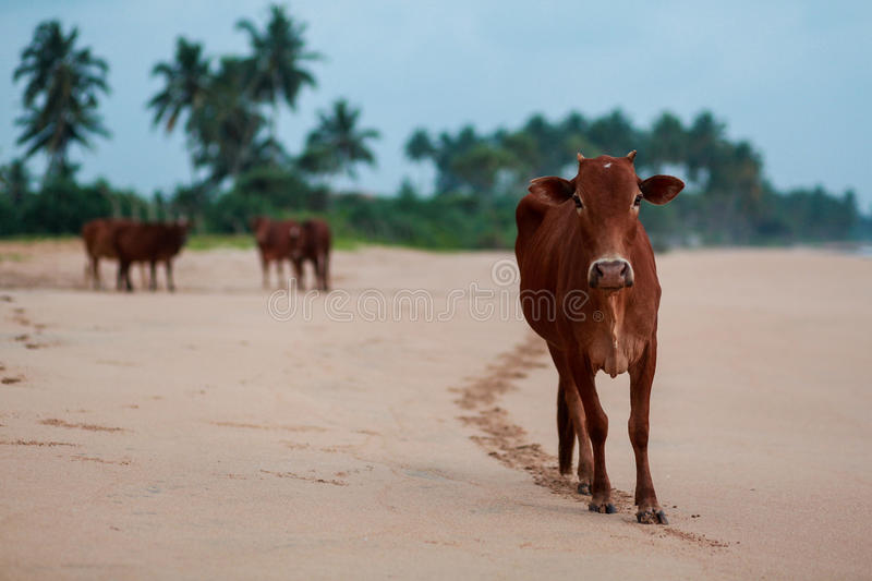 Download Cow Stock Photo - Image: 83718823