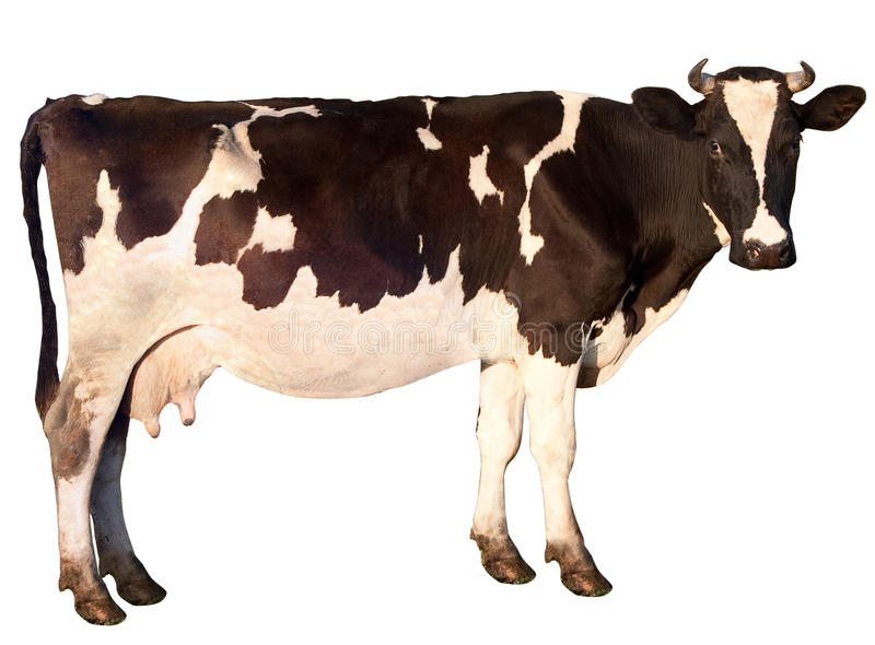 Cow is isolated royalty free stock photo