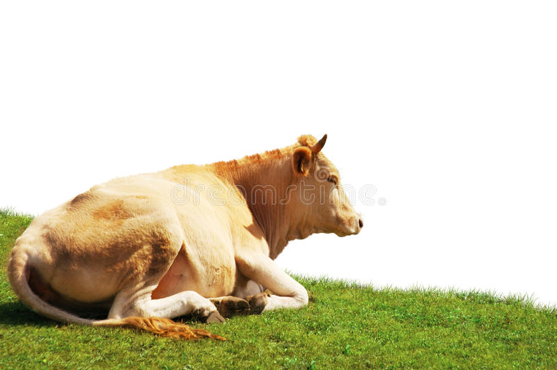 Download Cow isolated stock photo. Image of pasture, field, farming - 18825910
