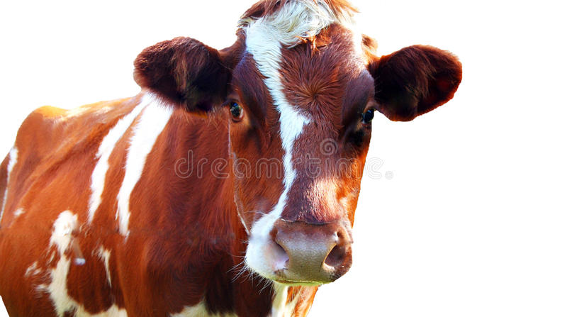 Cow isolated on white background stock photography