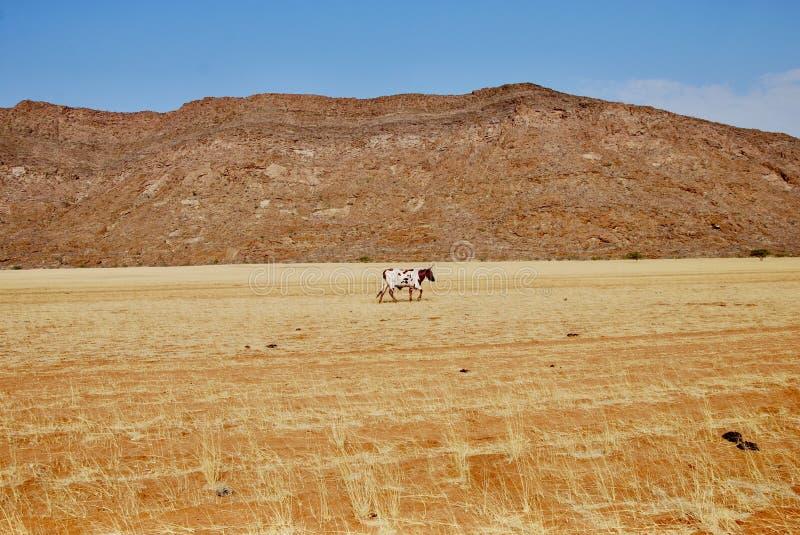 Cow in the Karoo stock photos